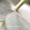 Eucalyptus & Proteas 1.8m Macro Botanical Collection by Botanicals by Kim Gensler Photography