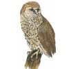 A4 print - Pell's Fishing Owl by Treehouse Arts