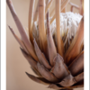 """Proteas"" Printed Canvas set (A3) by Afterimage"