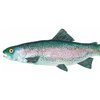 A4 print - Rainbow Trout by Treehouse Arts