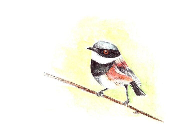 Cape Batis Watercolour Print by Mellissa Bushby Art