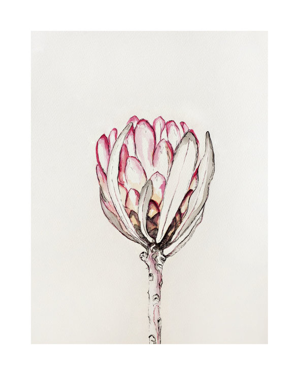 ​Botanical Illustration 04 – 'Protea Eximia' by Abundance Designs