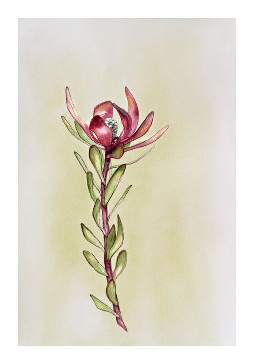 ​Botanical Illustration 06 – 'Leucadendron Salignum' by Abundance Designs