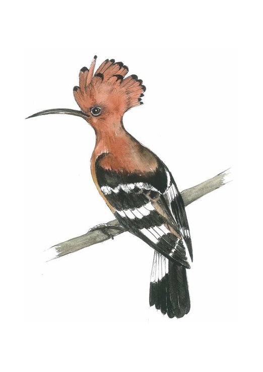 A4 print - African Hoopoe by Treehouse Arts