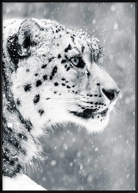 Bolou Framed Nordic Canvas Print Ready To Hang - Perseverance (Snow Leopard) (500X700mm) by Boluo