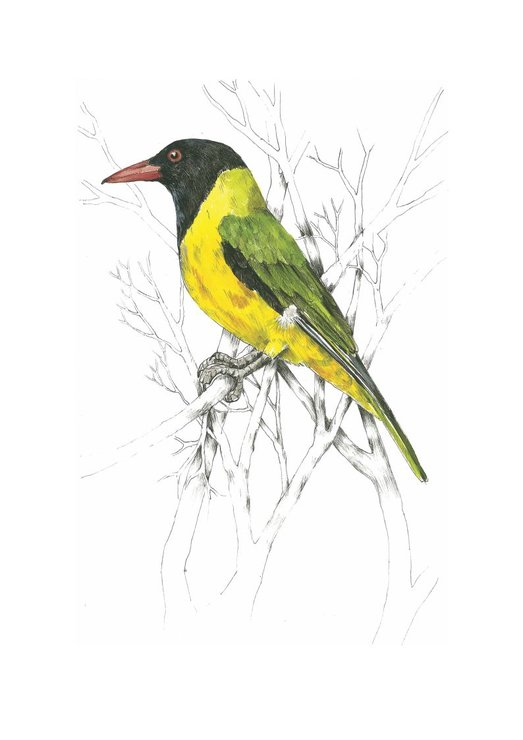 A4 print - Black-headed Oriole by Treehouse Arts