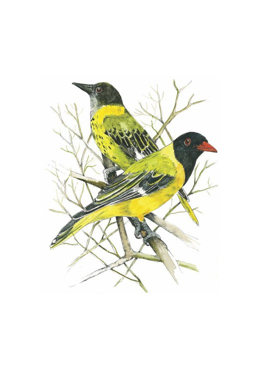 A3 print - Blackheaded Oriole mother and chick by Treehouse Arts