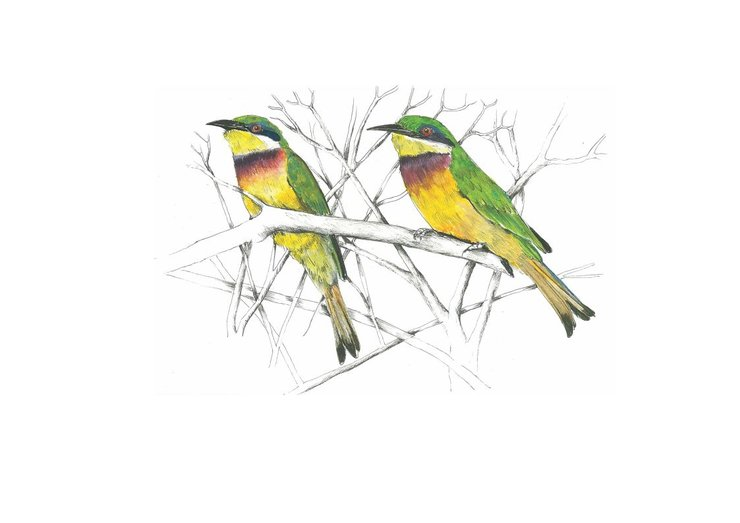 A3 print - Blue breasted Bee Eater by Treehouse Arts
