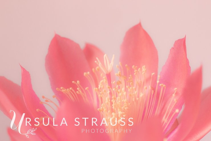 Floral Photography - Pretty Cactus Flower - Digital Print by Ursula Strauss Photography