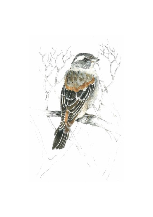 A4 print - Cape Sparrow by Treehouse Arts