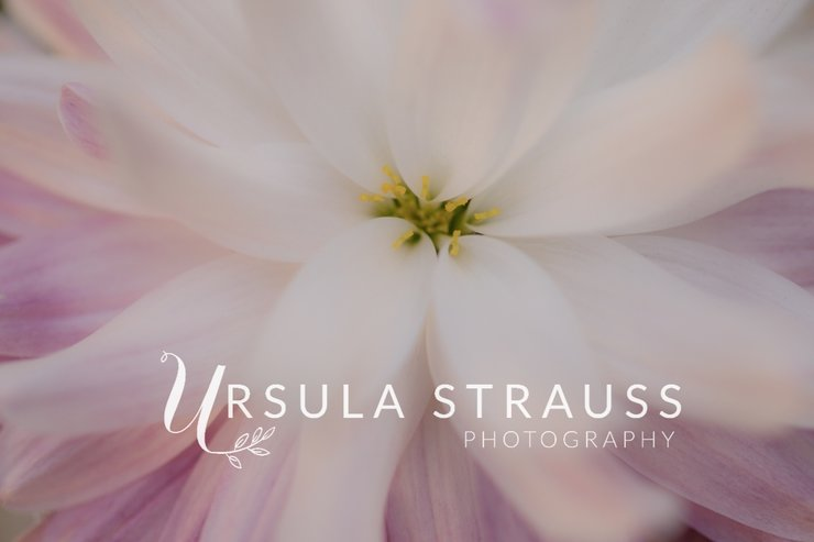 Floral Photography - Chrysanthemum Flower - Digital Print  by Ursula Strauss Photography
