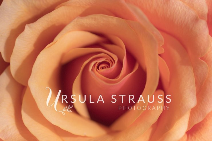 Floral Photography - Orange Rose - Digital Print  by Ursula Strauss Photography