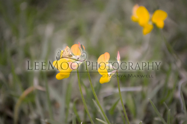 Little pansies PHOTO by LeeMooCreations