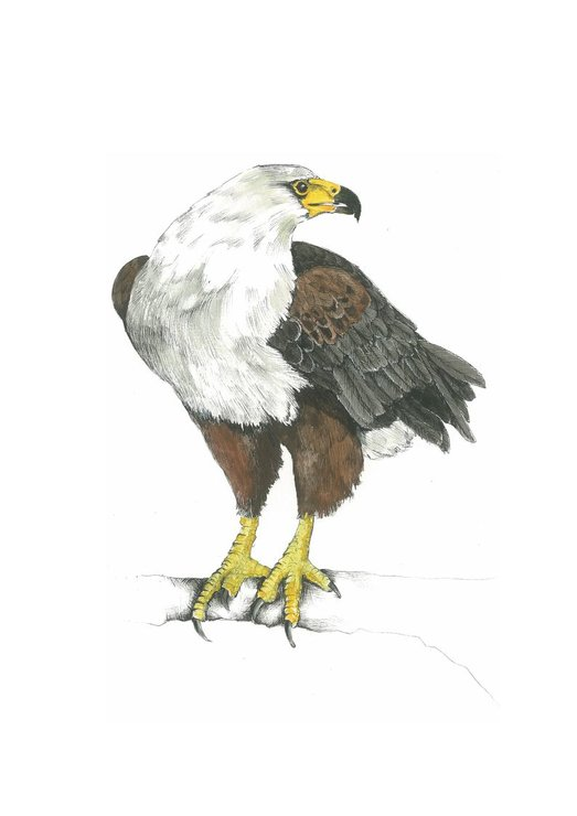 A3 print - Fish Eagle by Treehouse Arts
