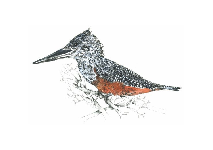 A3 print - Giant Kingfisher by Treehouse Arts