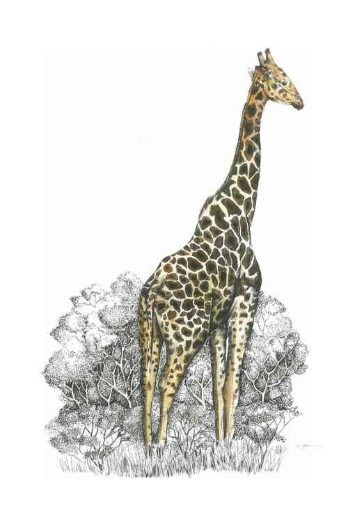 A3 print - Giraffe male by Treehouse Arts