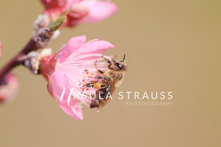Insect Photography - Honey bee on Peach Blossom - Digital Print by Ursula Strauss Photography