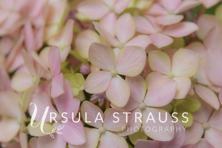 Floral Photography - Hydrangea - Digital Print  by Ursula Strauss Photography