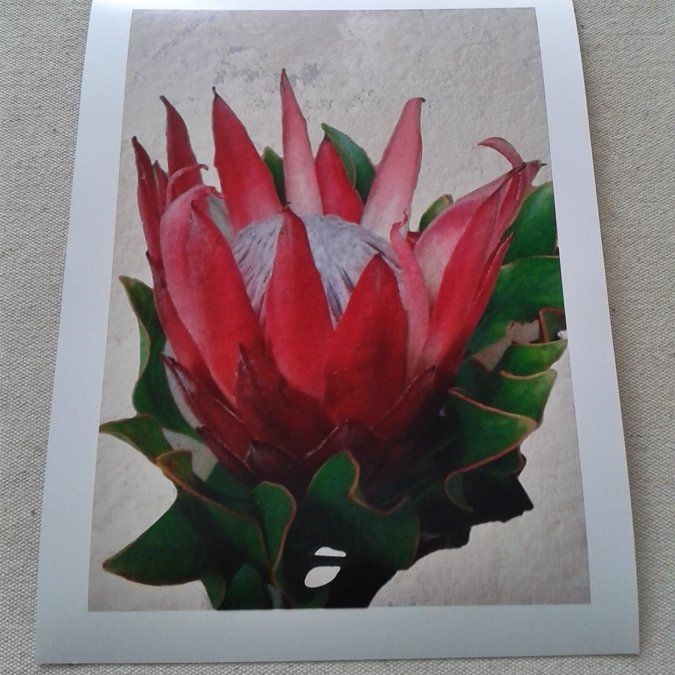 King Protea Flower - Photo Art Print on Paper by  ImPrintable | Art