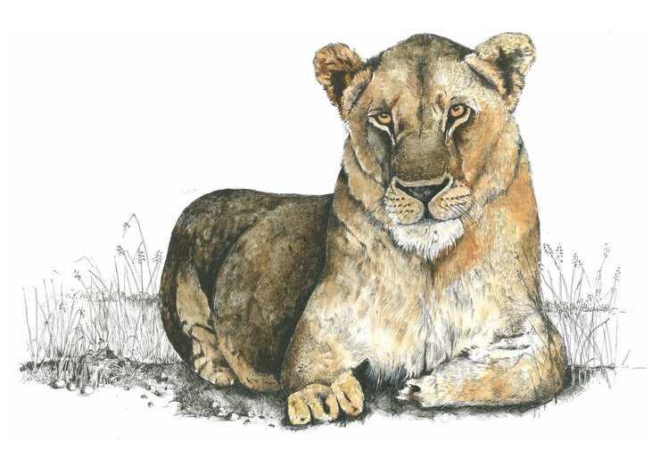 A3 print - Lioness by Treehouse Arts