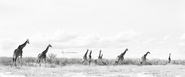 1200x500 - Giraffe, Botswana - Modern Black & White Fine Art Print - The Roam Collection - World Traveller - Modern Minimalist by The Roam Collection by Kim Gensler