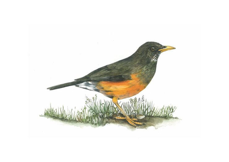 A3 print - Olivethrush by Treehouse Arts