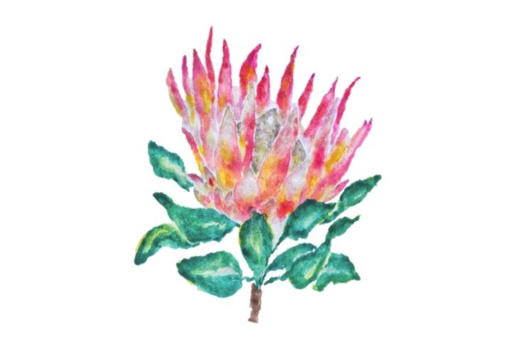 Water Colour Protea Print by The Pencil Project  by Meghan Maconochie