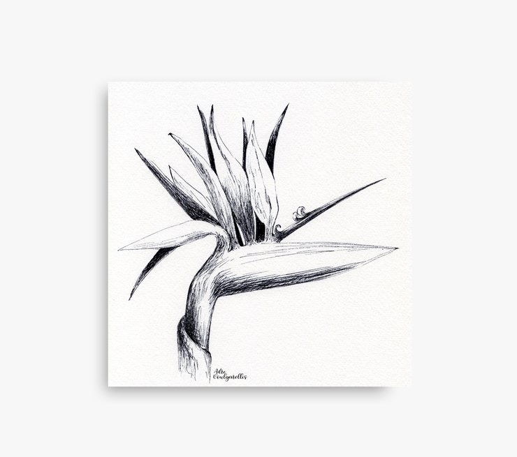 Printable Botanical Strelitzia Pen Drawing in Size A5, A4, 8 x 10 and 12 x 12 inches (PDF in ZIP). Small Wall Art Sketch for Nature Lovers made in Cape Town by artist Adri Voulgarellis by WHISP by Adri
